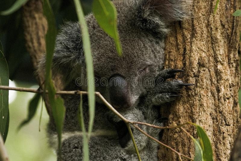 Coala Austrália que dorme nas árvores imagem de stock