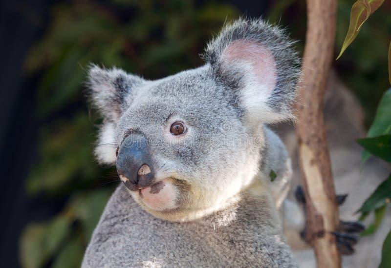 Coala australiana fotografia de stock