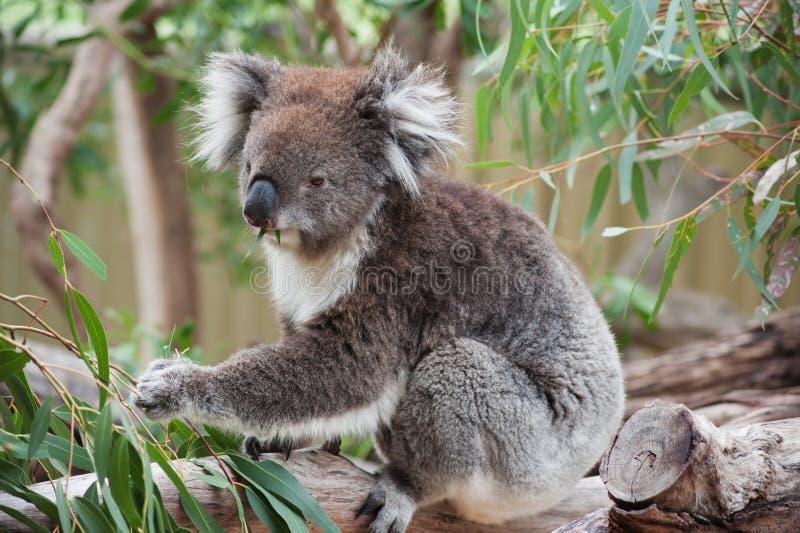 Coala australiana nativa foto de stock
