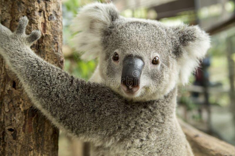 Coala australiana que senta-se em um ramo fotografia de stock