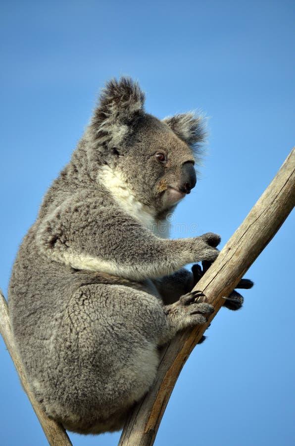 Coala australiana que senta-se em uma árvore de goma imagens de stock