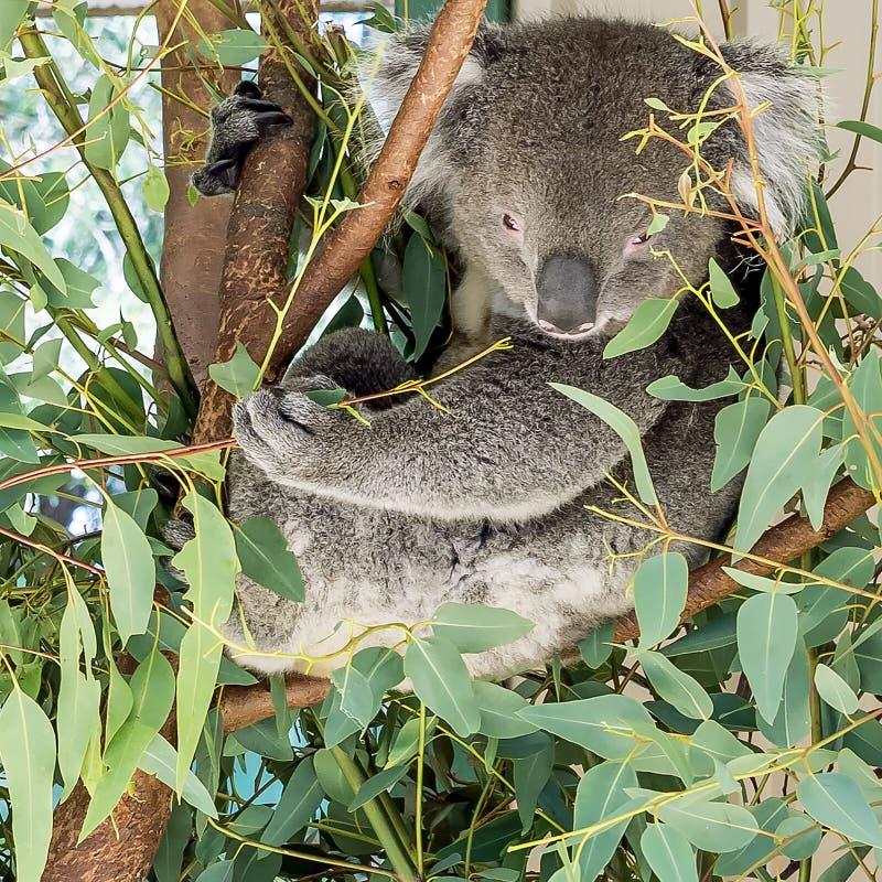 Coala bonita empoleirada em uma árvore que procura as folhas para comer ao observar o fotógrafo, Austrália Ocidental imagem de stock