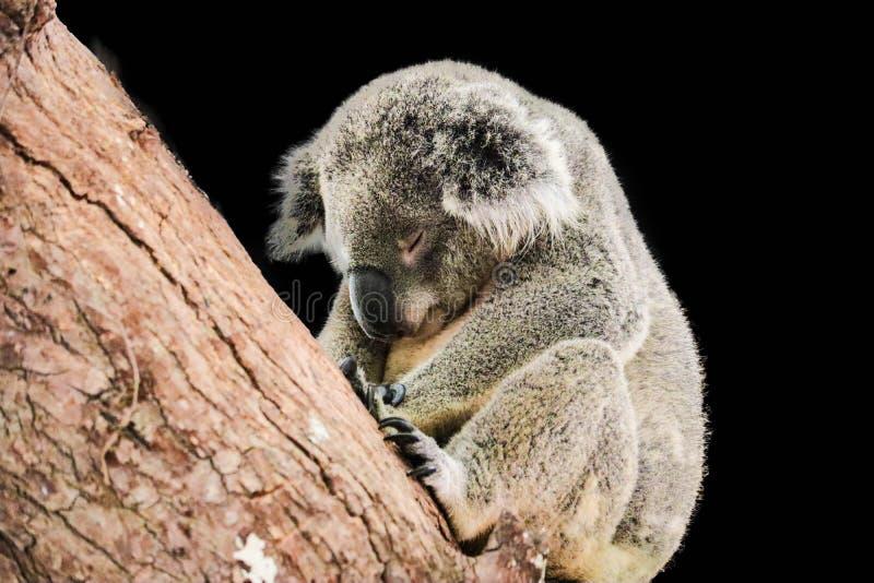 A coala bonito é sleepinh no fundo preto fotos de stock royalty free