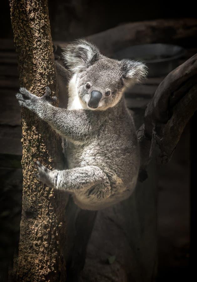 A coala bonito está escalando a árvore foto de stock