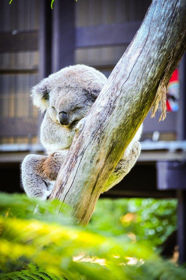 Coala bonito que dorme na árvore no jardim zoológico de Sydney imagens de stock