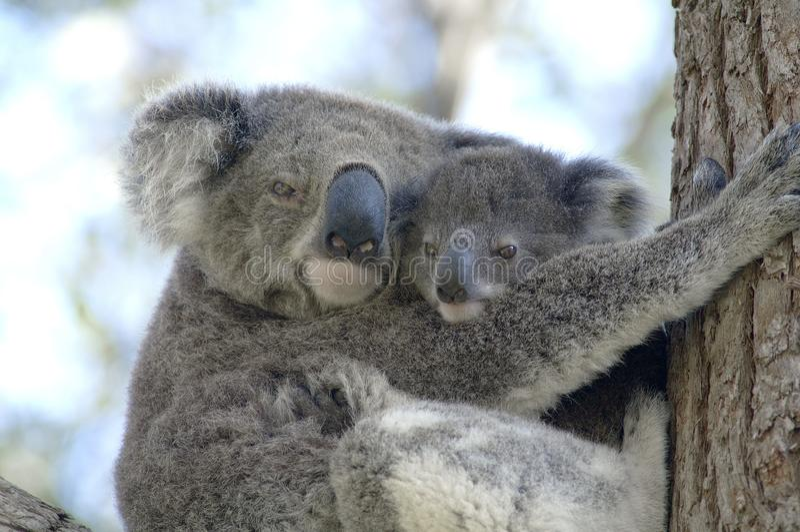 Coala com a baía de Anna do bebê, Novo Gales do Sul imagens de stock