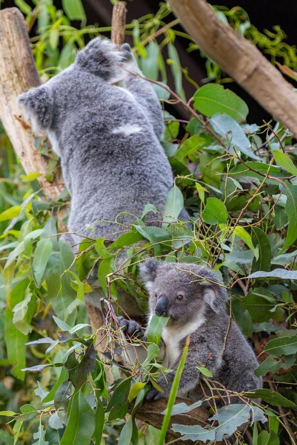 A coala do bebê que come a goma sae quando sua mãe escalar o ramo imagem de stock