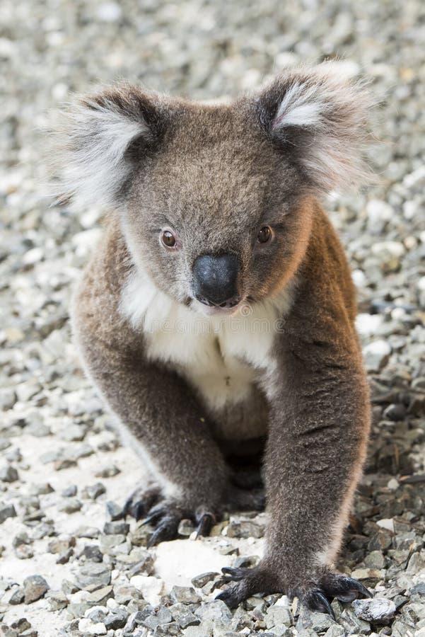 Coala, ilha do canguru, Austrália - papel de parede imagens de stock royalty free