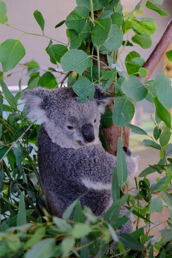 Coala na árvore, tomada em animais selvagens Sydney Zoo imagens de stock