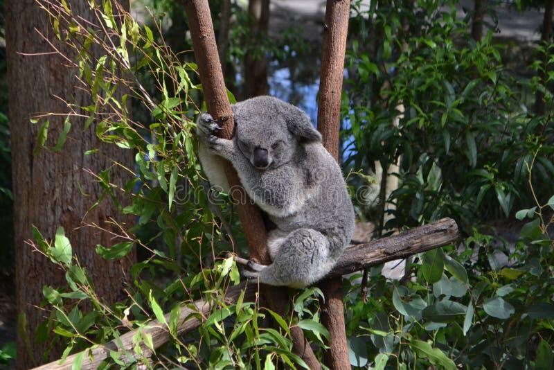 Coala que dorme na árvore de eucalipto imagens de stock royalty free