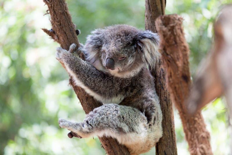 Coala que relaxa em uma árvore, Austrália Close-up imagens de stock royalty free