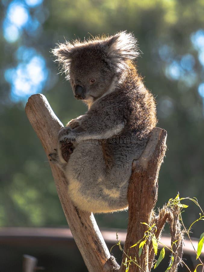 Coala que senta-se em uma árvore que olha para baixo imagens de stock