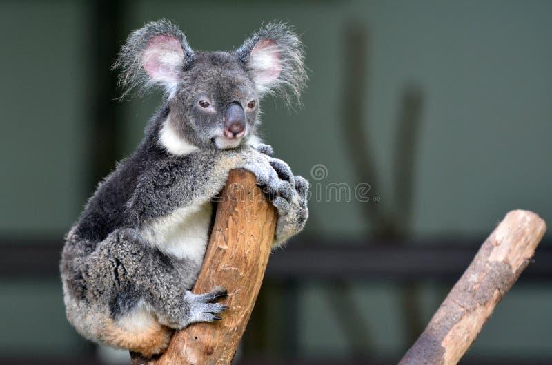 A coala senta-se em olhares de uma árvore na câmera fotos de stock