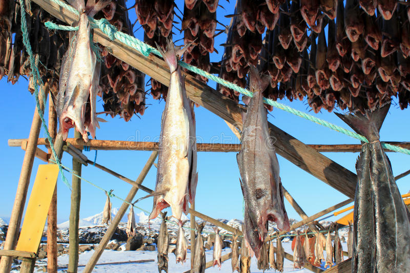 Coalfish. Hanging to dry on the traditional wooden racks, enlighted by the sunset, Mortsund in Lofoten islands, Polar circle stock photography