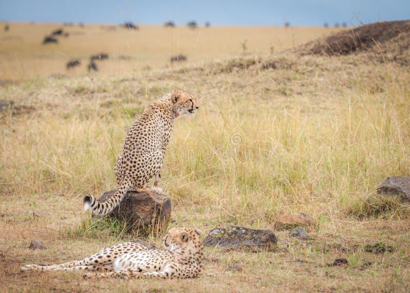 Coalizione dei ghepardi che guardano lo gnu durante la migrazione immagine stock libera da diritti