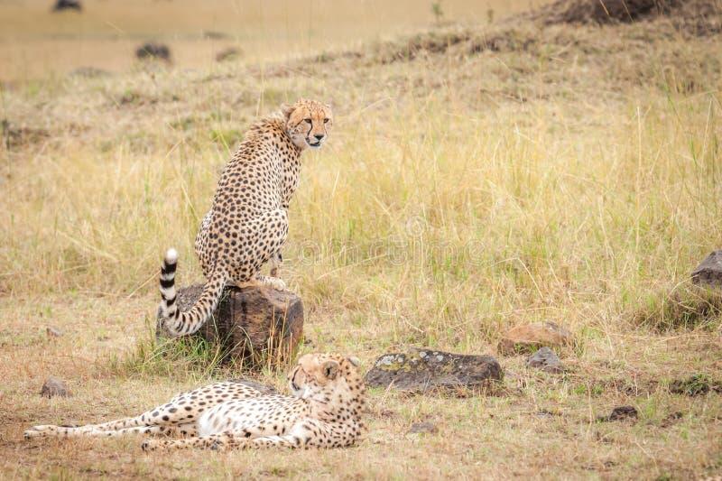 Coalizione dei ghepardi che guardano lo gnu durante la migrazione immagini stock libere da diritti