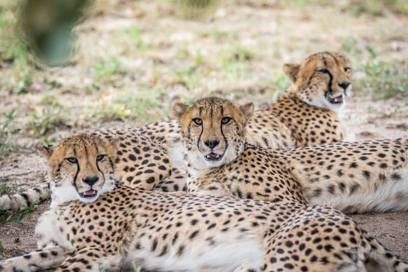 Coalizione dei ghepardi che risiedono nella sabbia fotografia stock libera da diritti