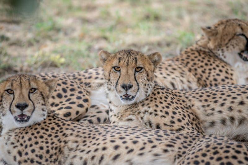 Coalizione dei ghepardi che risiedono nella sabbia fotografie stock libere da diritti