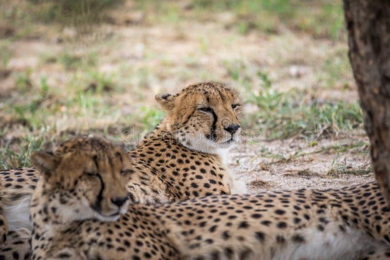 Coalizione dei ghepardi che risiedono nella sabbia immagini stock