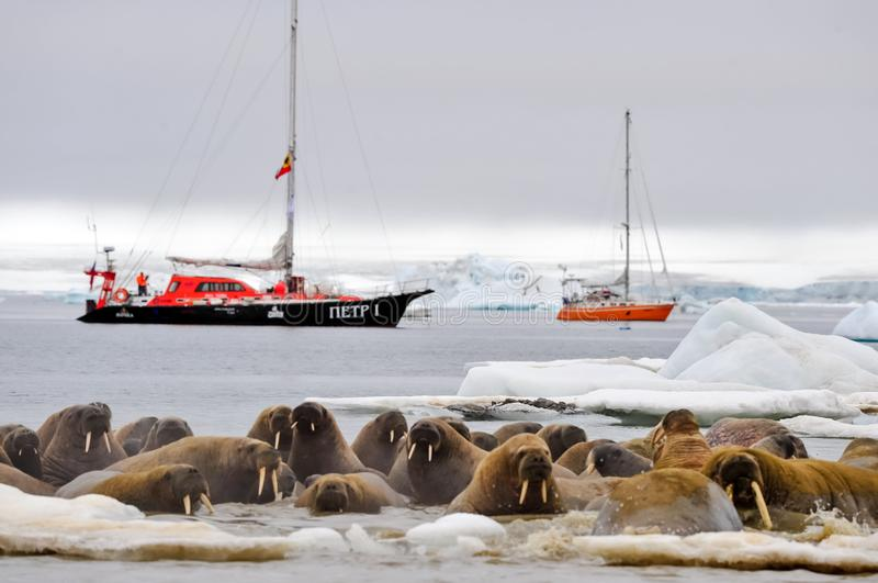 Walrus on an ice floe. Vessel of the Arctic expedition in the waters of the Arctic Ocean royalty free stock photos
