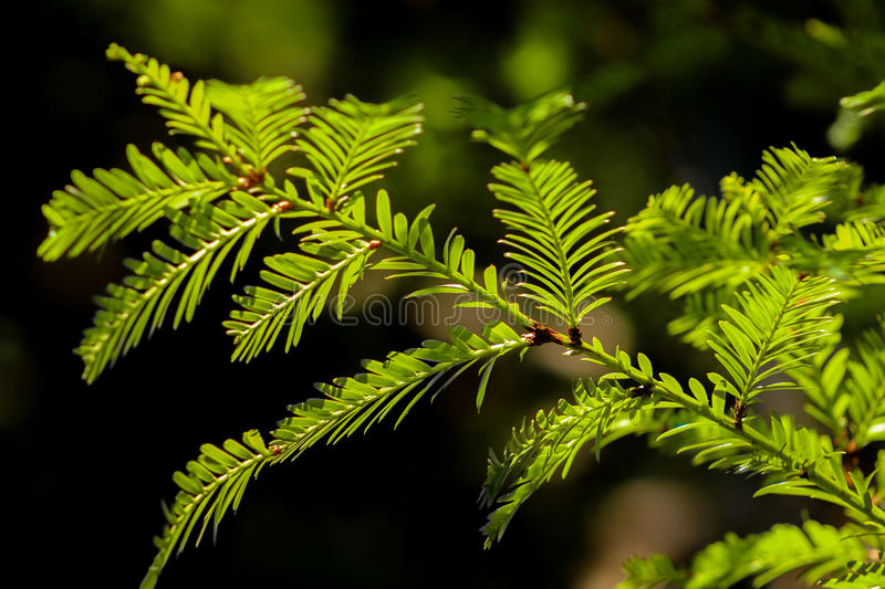Coast redwood needles in the sun. Redwood tree (Sequoia sempervirens) needles in the light royalty free stock photography