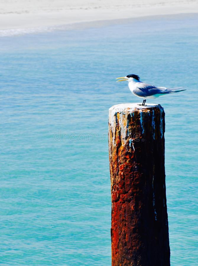 Coastal Bird: Crested Tern. White,black and grey Crested Tern coastal bird on a rusty ocean piling with a sand and blue ocean background stock photography