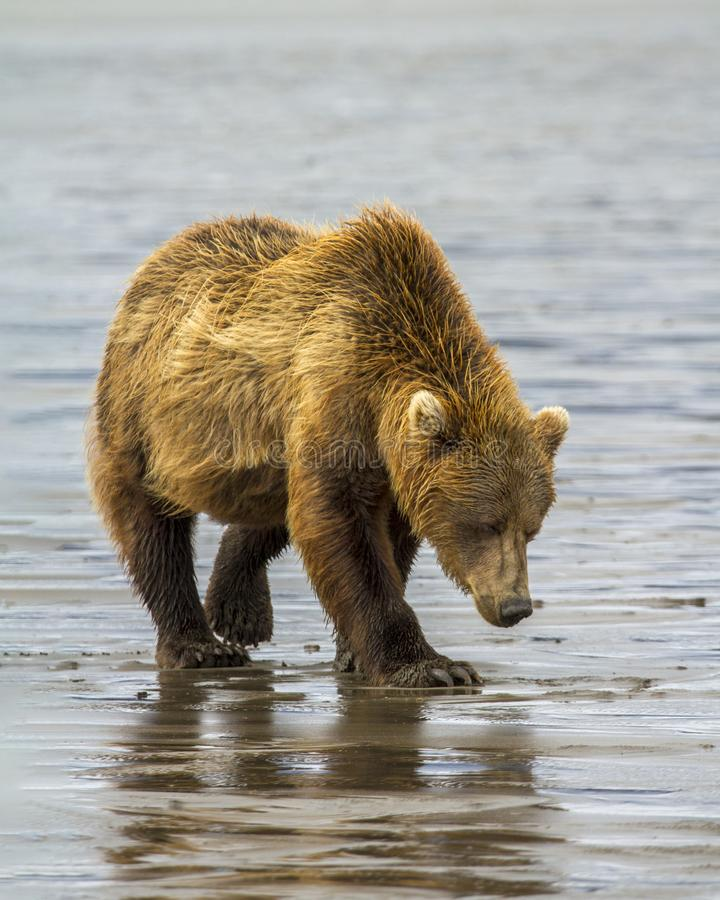 Coastal Brown Bear Clamming stock images