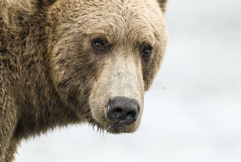 Coastal Brown Bear Closeup stock photography
