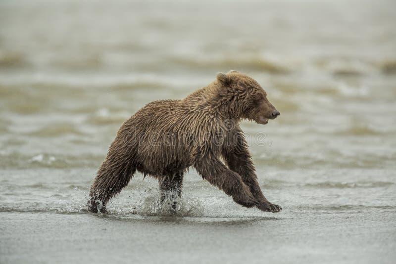 Coastal Brown Bear Cub Eunning royalty free stock photos