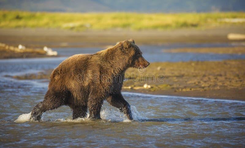 Coastal Brown Bear. A coastal brown bear looks for salmon in Katmai National Park and Preserve, Alaska stock image