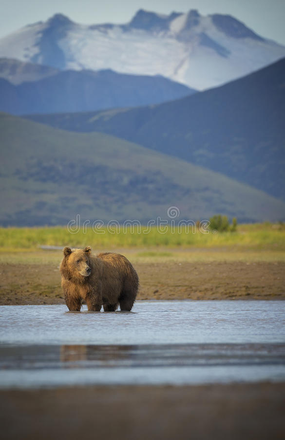 Coastal Brown Bear. A coastal brown bear looks for salmon in Katmai National Park and Preserve, Alaska royalty free stock photos