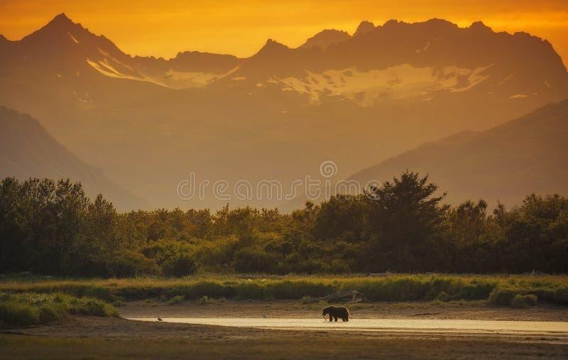 Coastal Brown Bear. A coastal brown bear looks for salmon in Katmai National Park and Preserve, Alaska stock photos