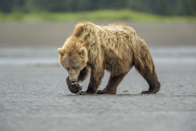 Coastal Brown Bear on the Mud Flats stock photo