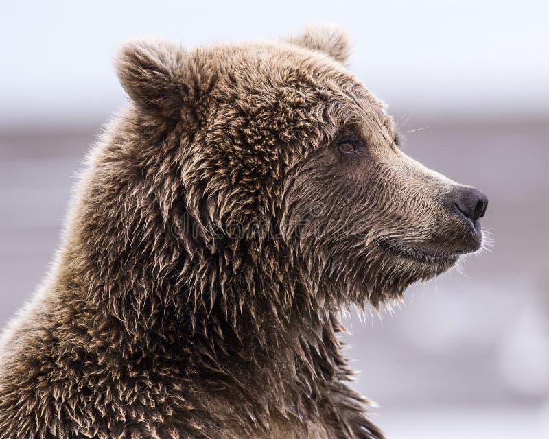 Coastal Brown Bear Profile stock images