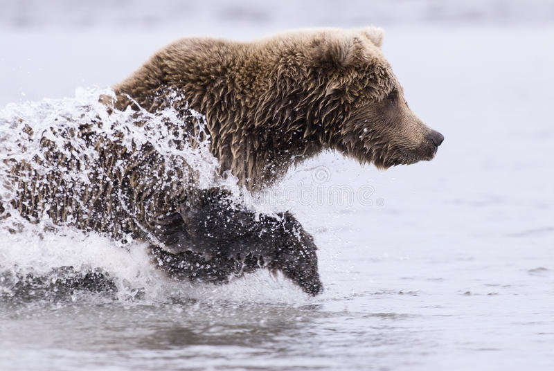 Coastal Brown Bear Running royalty free stock photo
