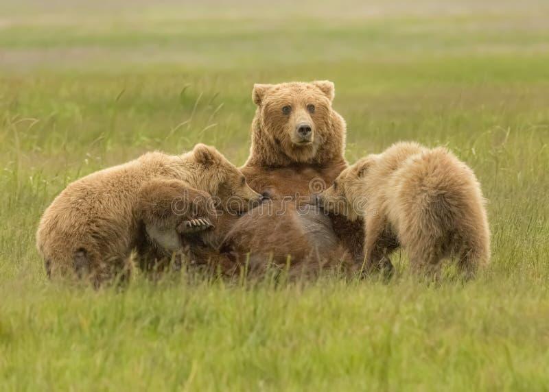 Coastal Brown Bear Sow Nursing. Tow second year cubs, Silver Salmon Creek area of Lake Clark National Park and Preserve, Alaska royalty free stock photos