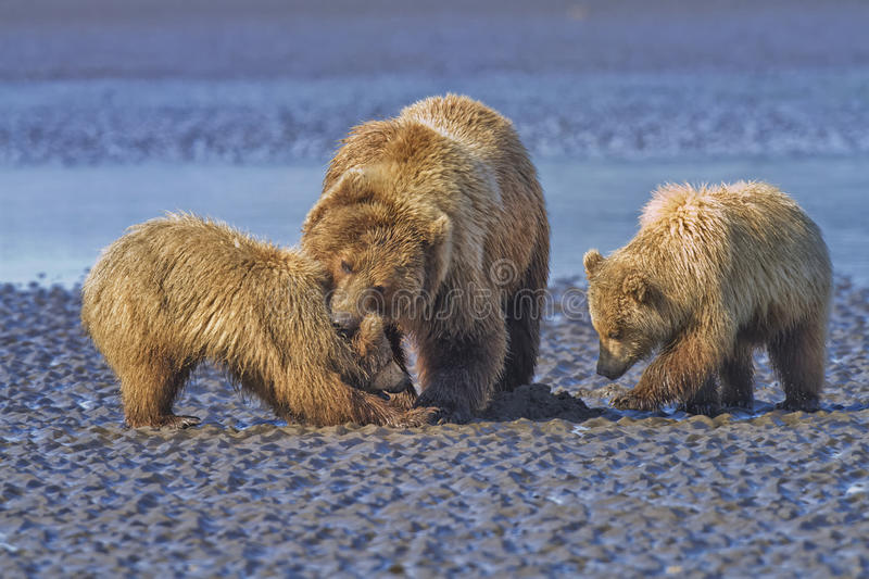 Coastal Brown Bears on the Mud Flats. Coastal Brown Bear (Ursus arctos) sow disciplining one of her cubs while digging for clams on the mud flats of Silver royalty free stock photos