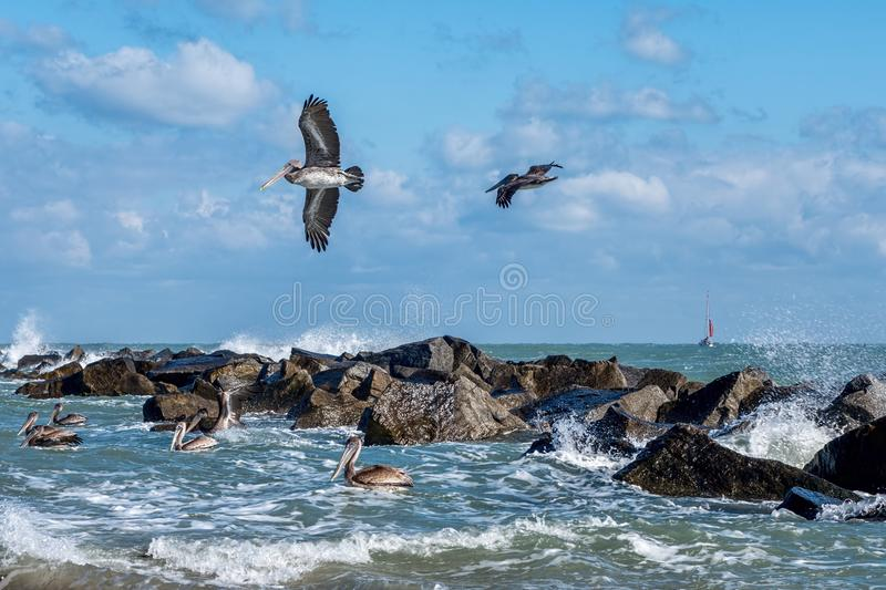 Coastal Brown Pelicans. Pelicans at the Fort Pierce inlet, Florida. The Florida Brown Pelican (Pelecanus Occidentalis) is the smallest of all pelicans in the stock images