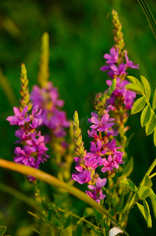 Coastal flowers. Growing on the banks of the Volga royalty free stock photos