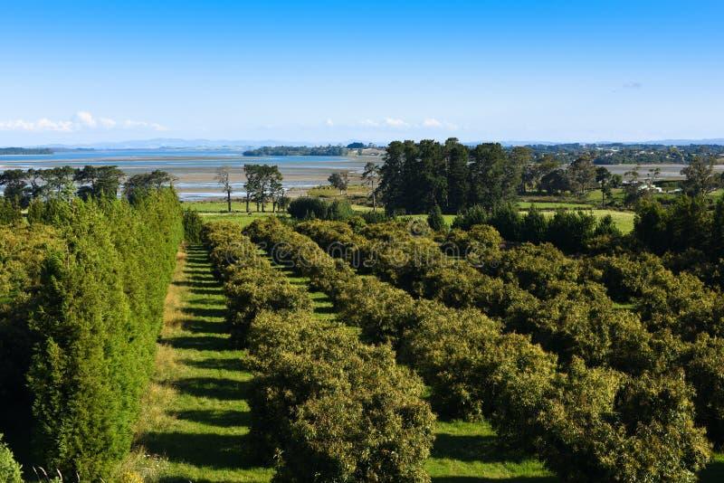 Coastal fruit tree farm, New Zealand. Stone fruit trees in central Bay of Plenty New Zealand. Lush green coastal landscape royalty free stock photography