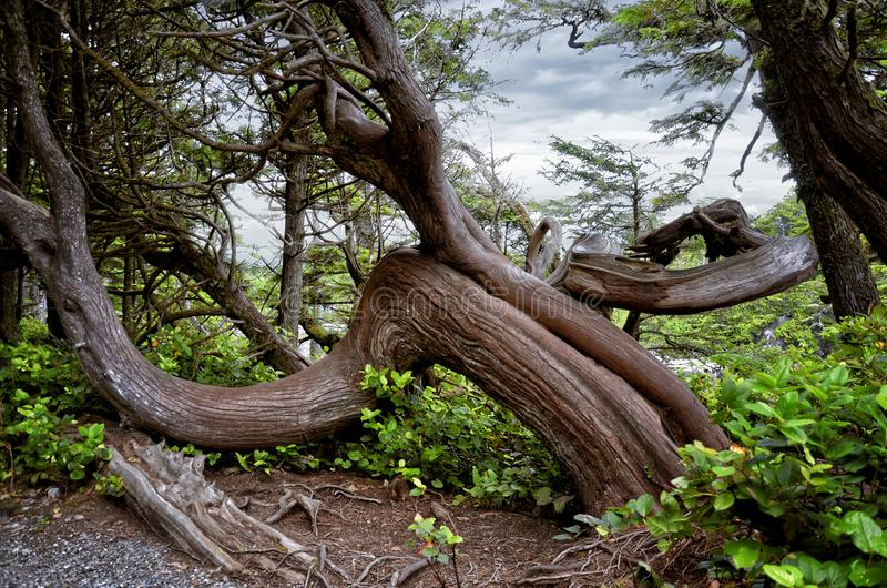 Coastal Landscape of Wild Pacific Trail: Twisted Pine Trees on the Coast, Vancouver Island stock photo