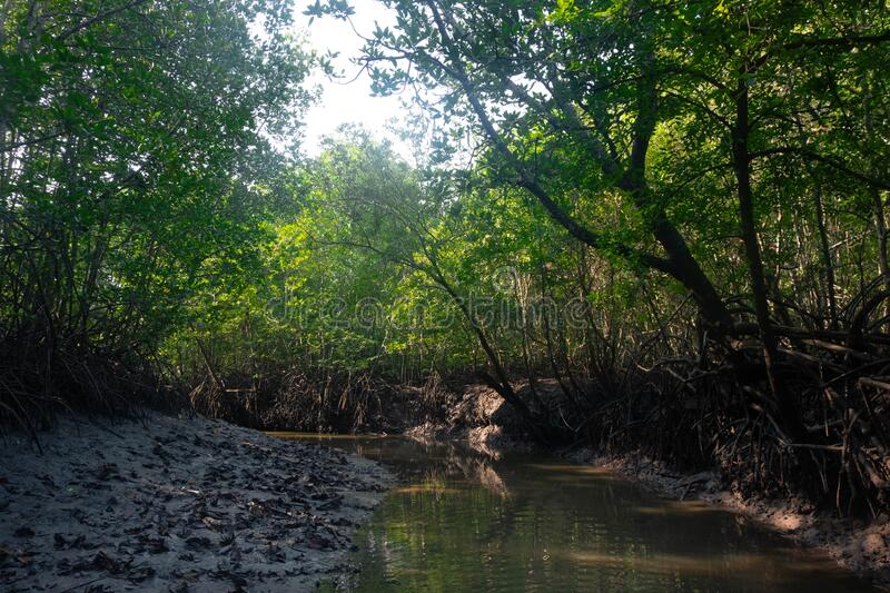 Coastal mangrove forest in National Park. The Coastal mangrove forest in National Park stock photos