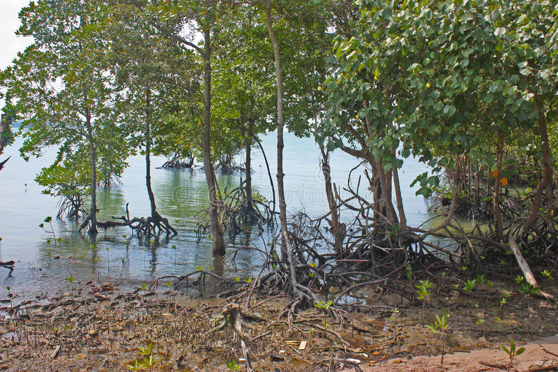 Coastal mangrove trees. With aerial roots exposed during low tide royalty free stock images