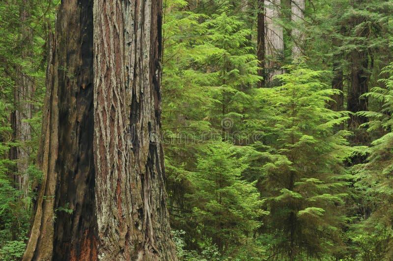 Coastal Redwoods. Coastal redwood forest Prairie Creek State Park, California, USA royalty free stock photography