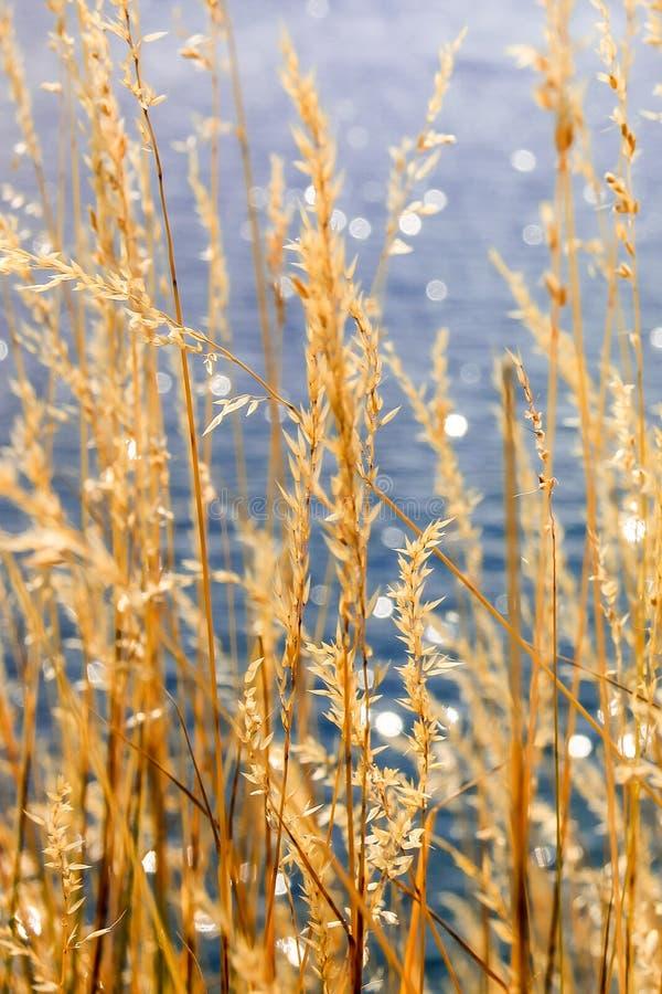 Coastal reed royalty free stock photography