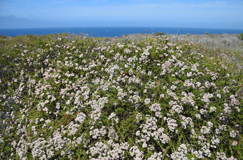 Coastal Sage Community in the Dana Point Headlands Conservation area.. Image shows a flowering plant part of the protected Coastal Sage Community in the Dana stock images
