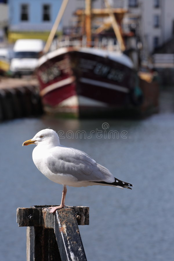 Coastal Seagull with water and fishing boat stock photos