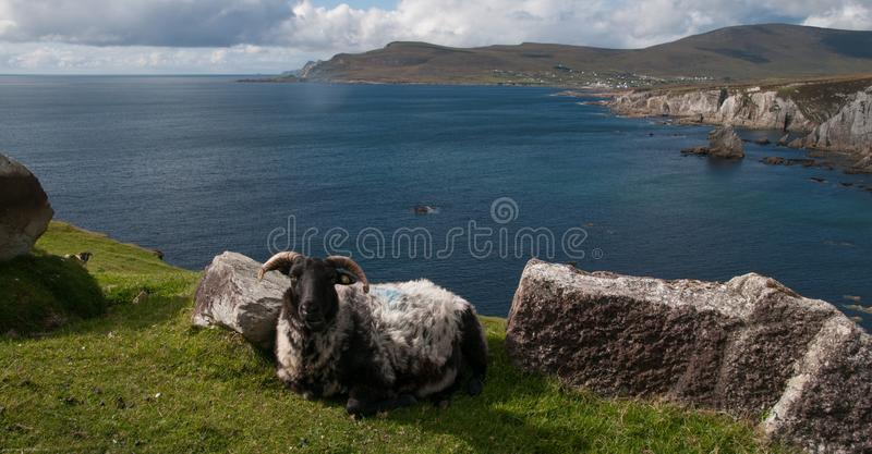 Coastal Sheep In Achill Island. Achillisland, mayo, wild, atlantic, way, ireland, stone, rocks, sea, ocean, sunny, landscape, hills, mountain, cliffs, grass royalty free stock image