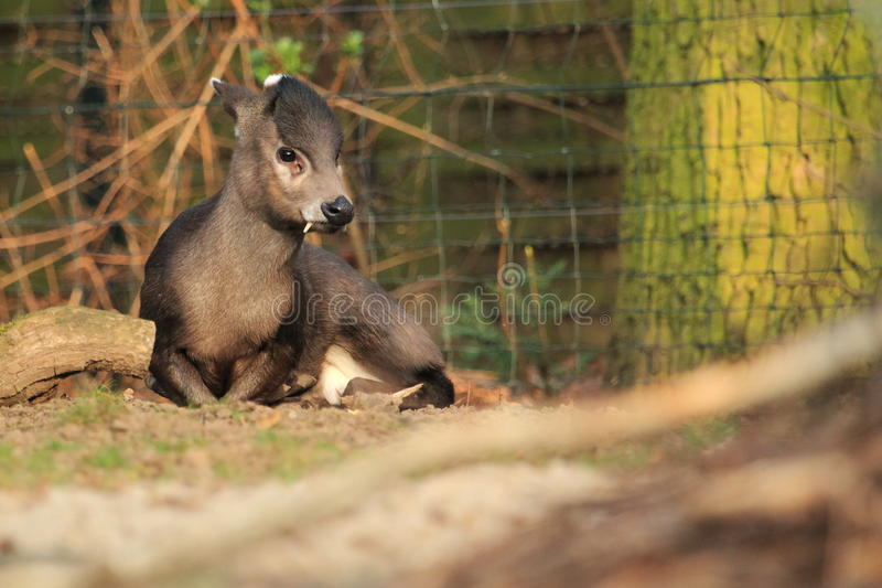 Download Coastal tufted deer stock photo. Image of michie, lying - 24026860