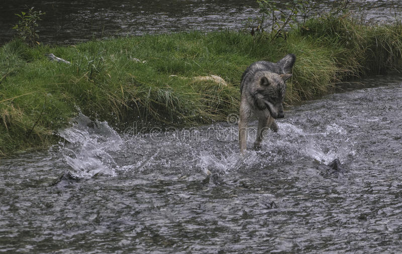 Coastal Wolf fishing. A coastal wolf fishes for chum salmon that shoot like torpedoes through the creek. Rare Alaskan wolf in the Tongass National forest, Alaska stock image